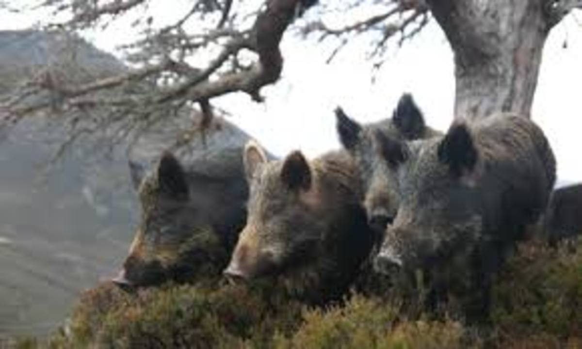 Wild boar or feral pigs in the United Kingdom.