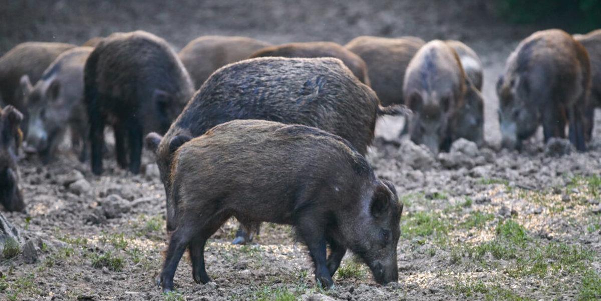 Feral hogs in Canada