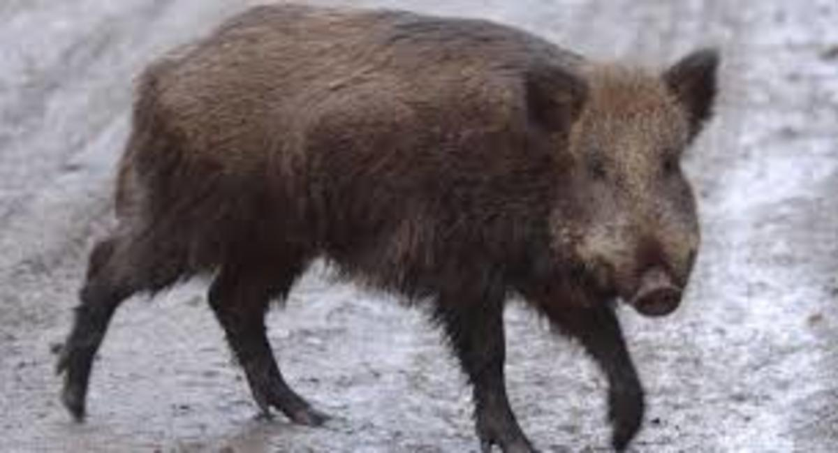 Feral pig in Ireland: Tis the luck o' the Irish.