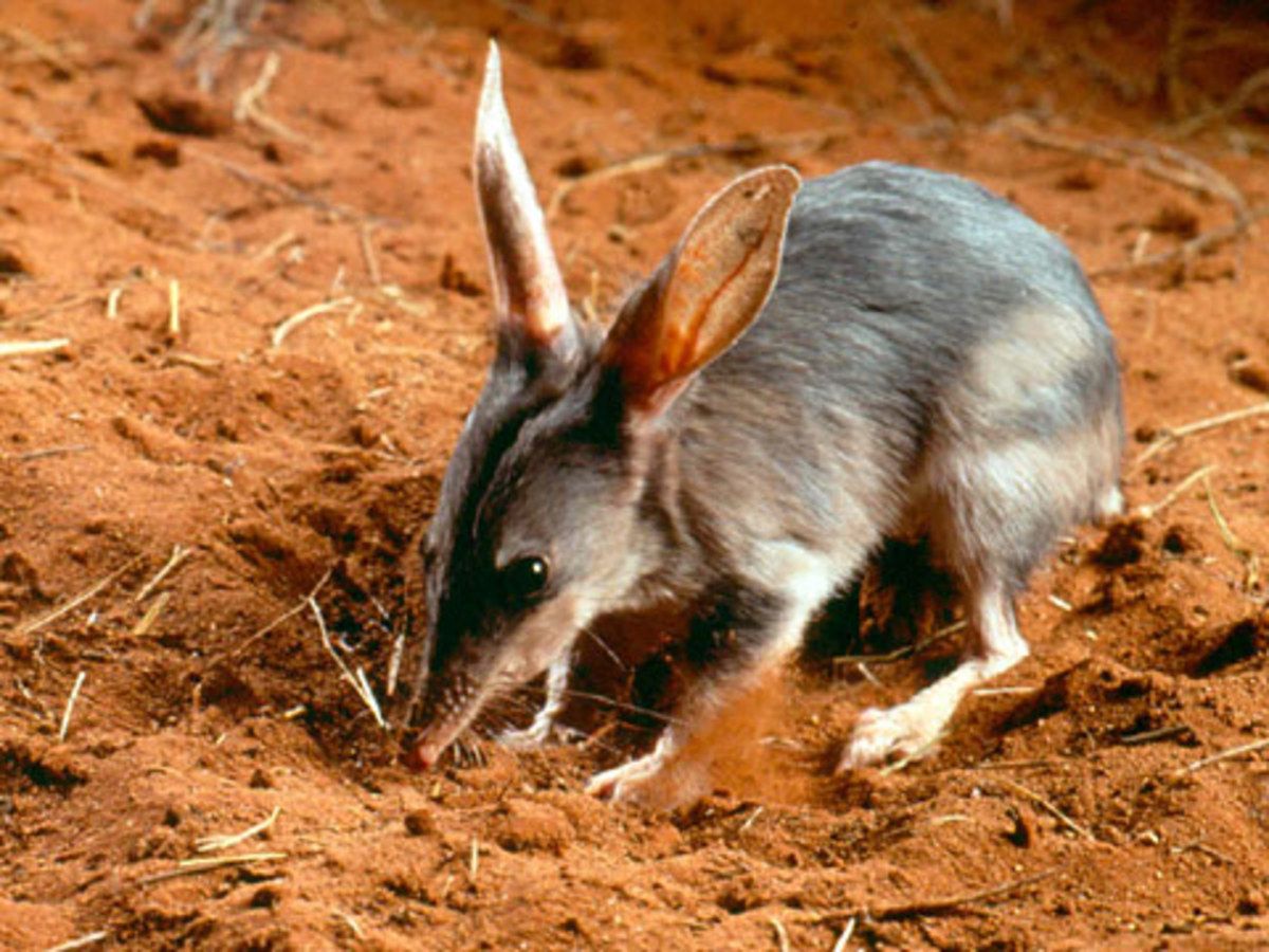 This little fellow is a bilby. Predation by introduced species such as foxes has reduced the bilby population by 80 percent.