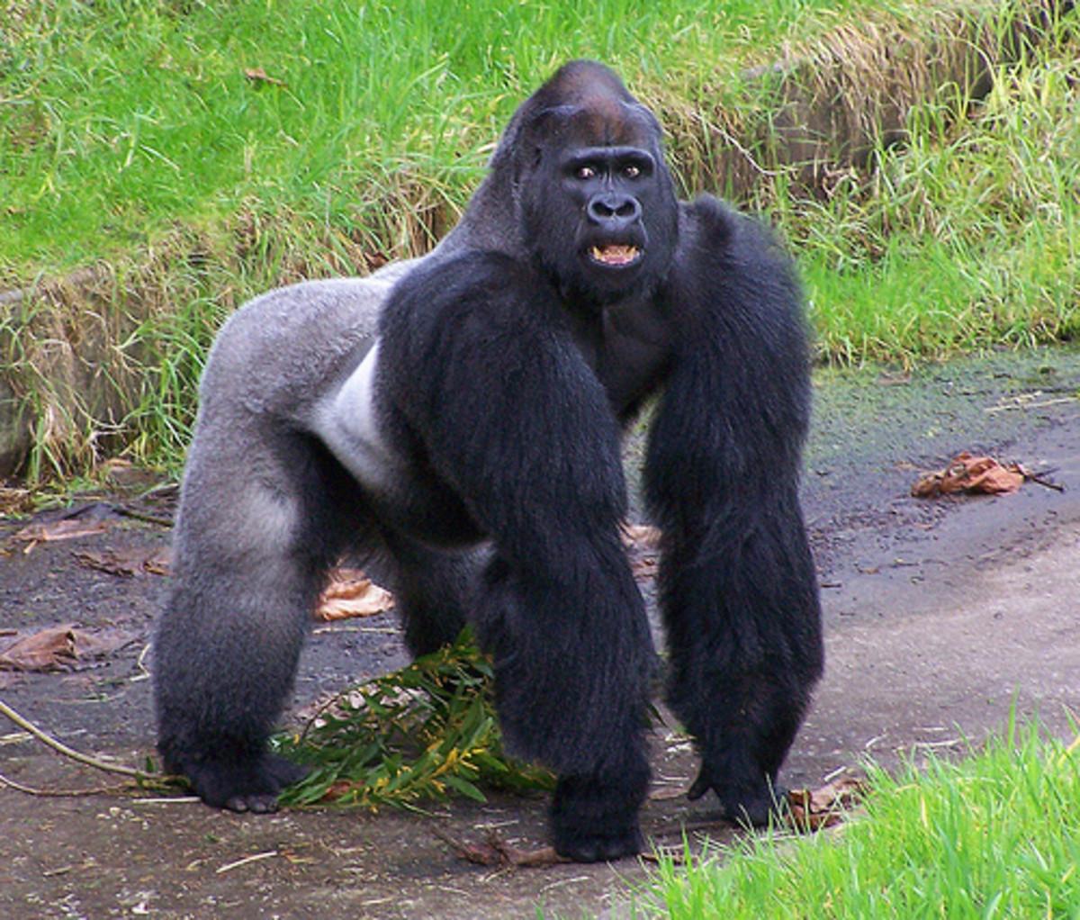 Eastern lowland gorilla.