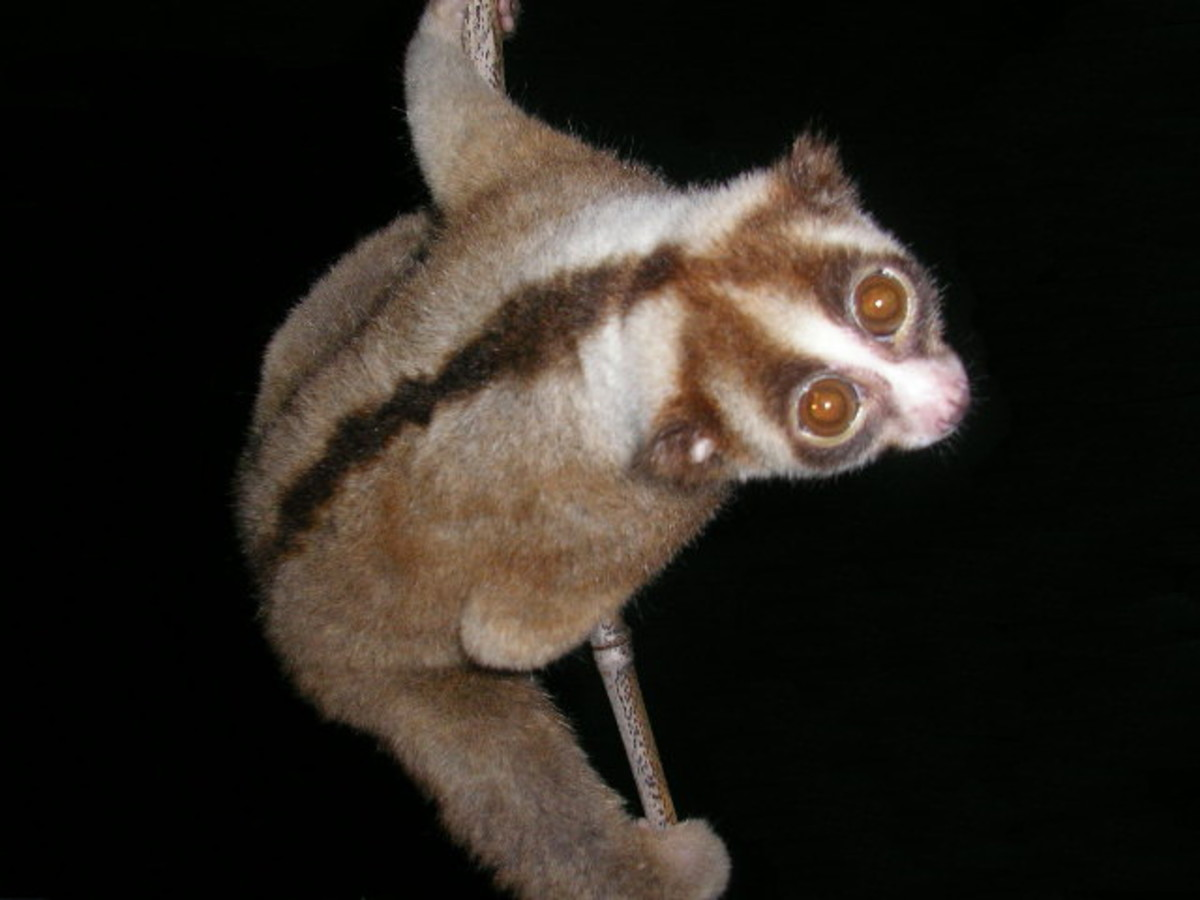 Javan slow loris.