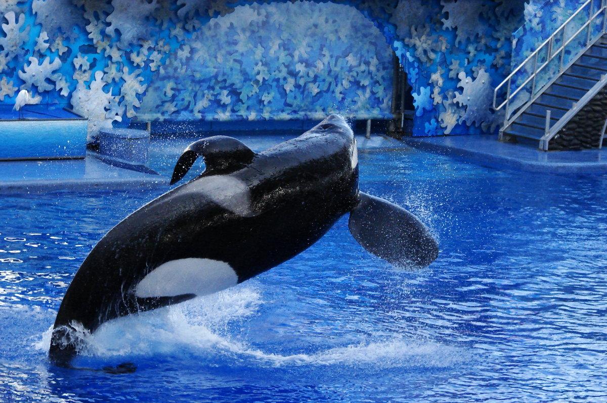 dorsal-collapse-in-killer-whales