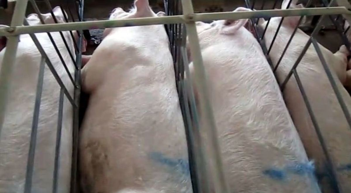 factory-farming-mass-production-efficiency-and-collateral-damage