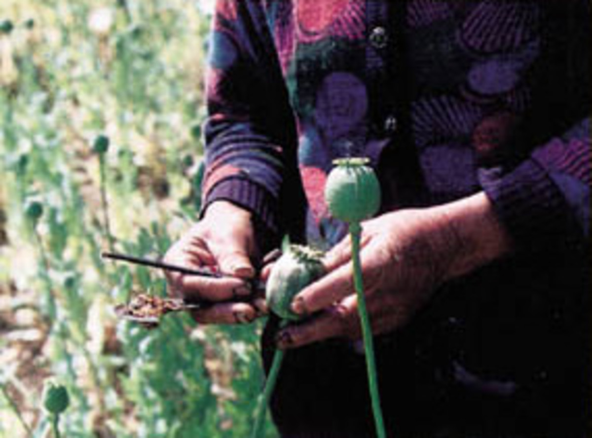First step in trafficking; harvesting opium from poppies.