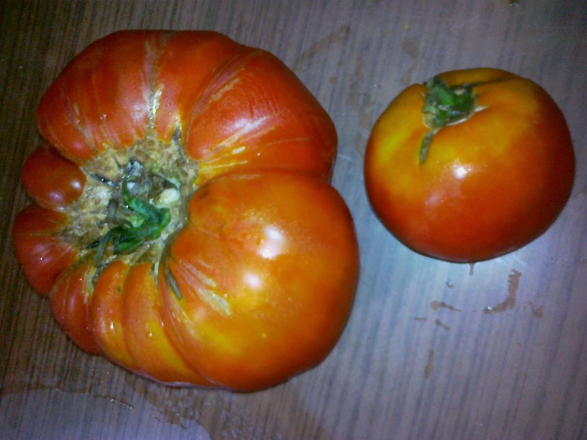 Organic and a GMO tomator