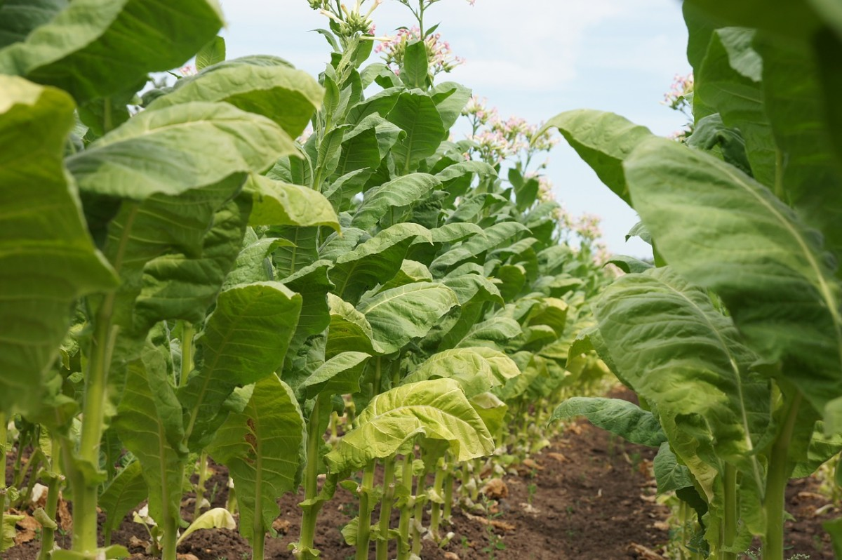 More than 350,000 acres of US farmland are being used to raise tobacco.