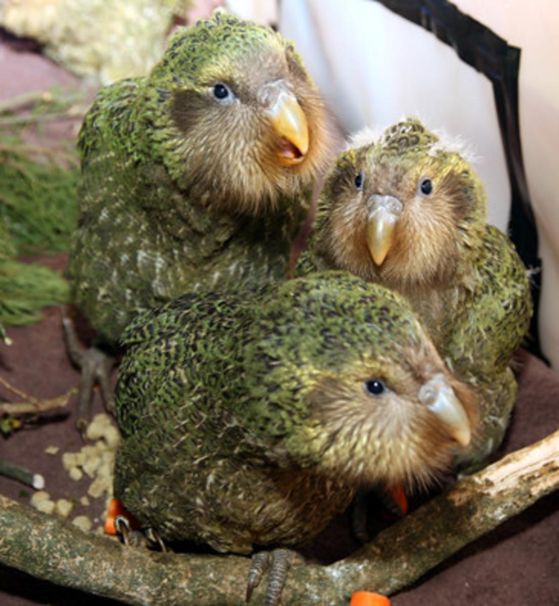 Fledgling kakapos.