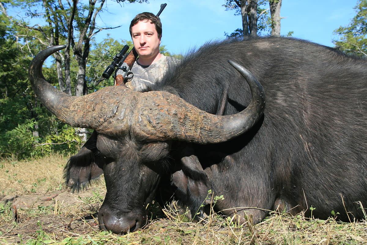 A Cape buffalo becomes a trophy.
