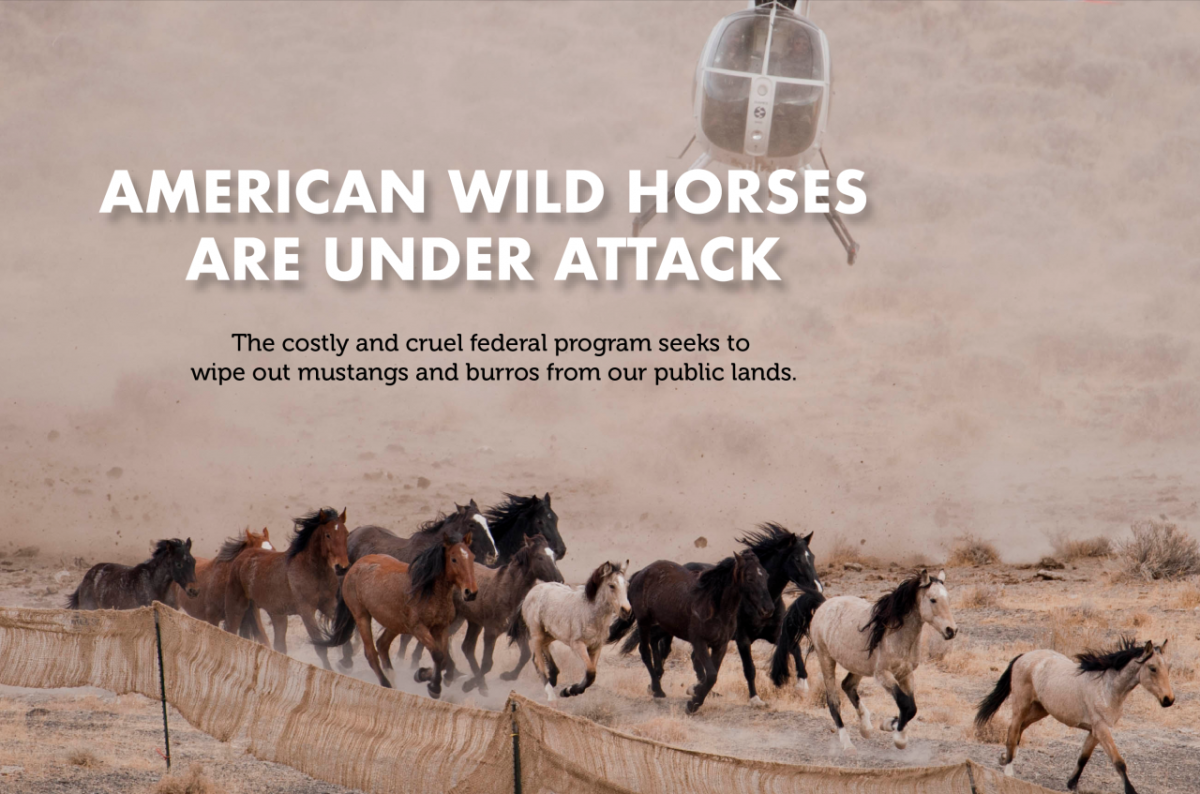 Wiping out wild horses and burros carries repercussions.