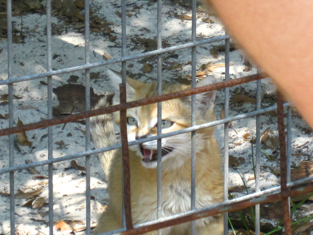 Sand cat at Big Cat Rescue