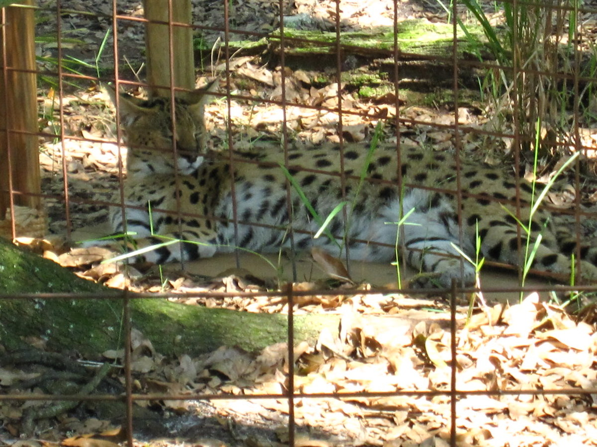 Serval at Big Cat Rescue