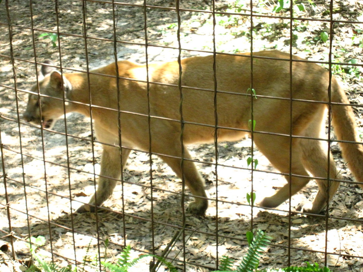 Cougar at Big Cat Rescue