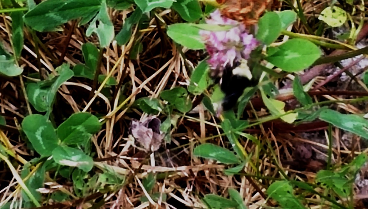 Here a wild bee grapples energetically to extract nectar from clover.