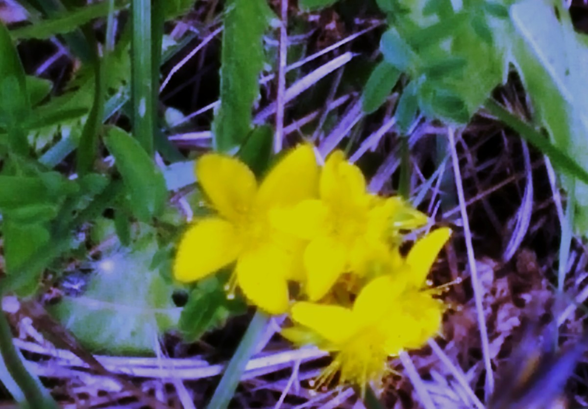 A delicate, very bright yellow flower that I can't identify.  Do you know what it is?