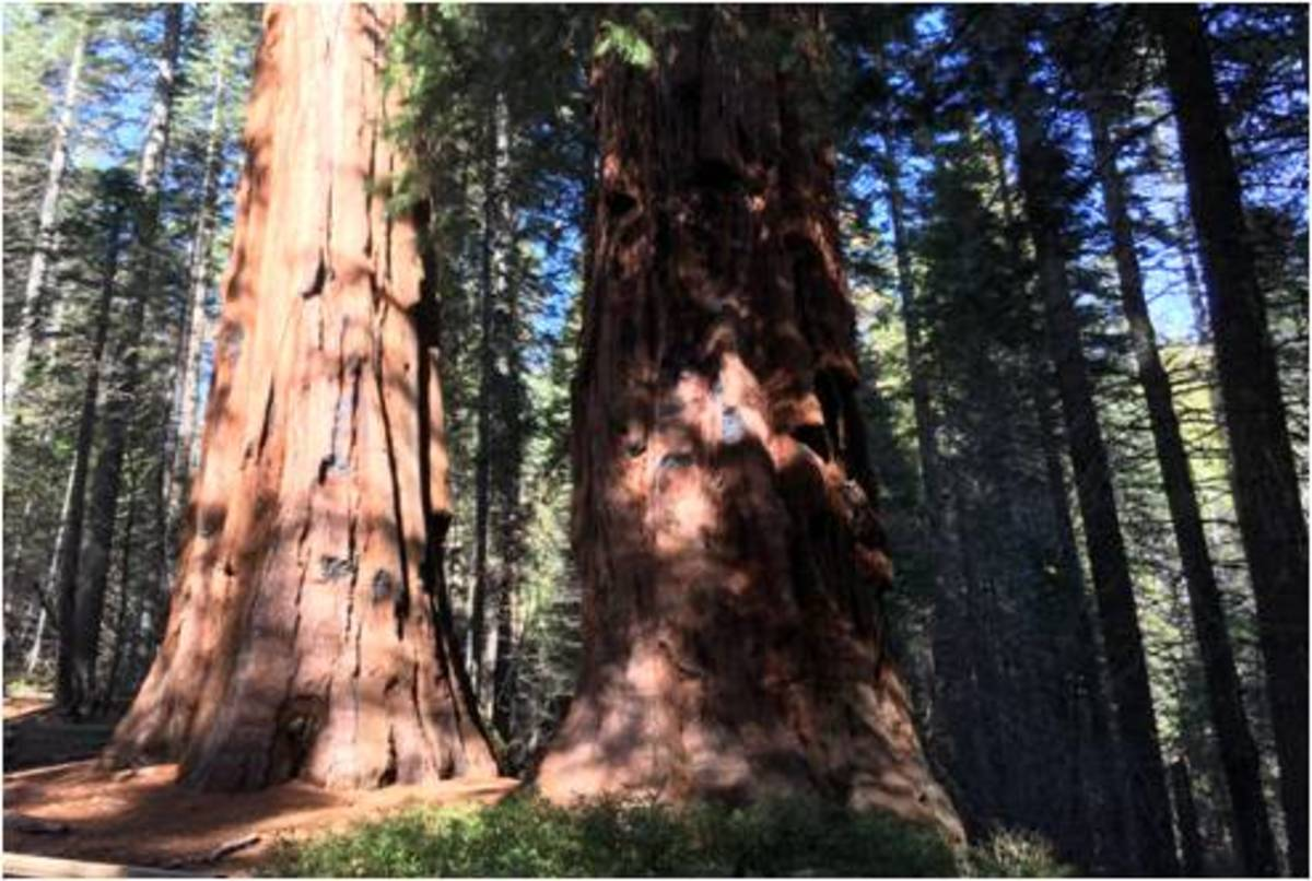 The emblematic Giant Sequoias might face extinction with Global Warming