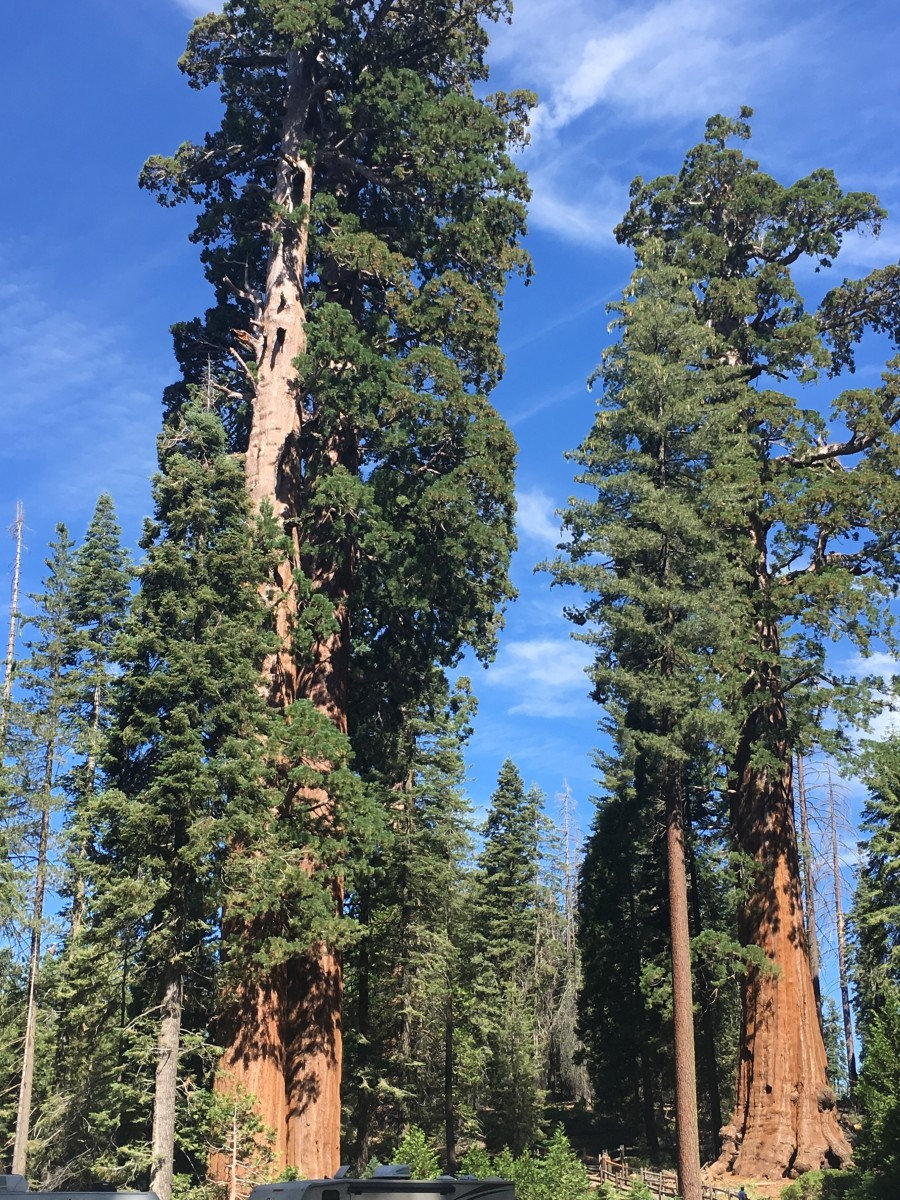 Giant sequoias capture thousands of tons of carbon dioxide during their lifespan.