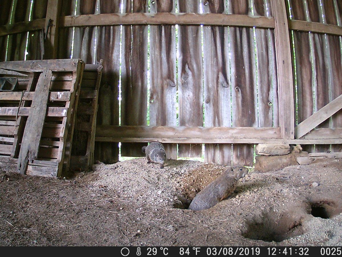 Ground hogs