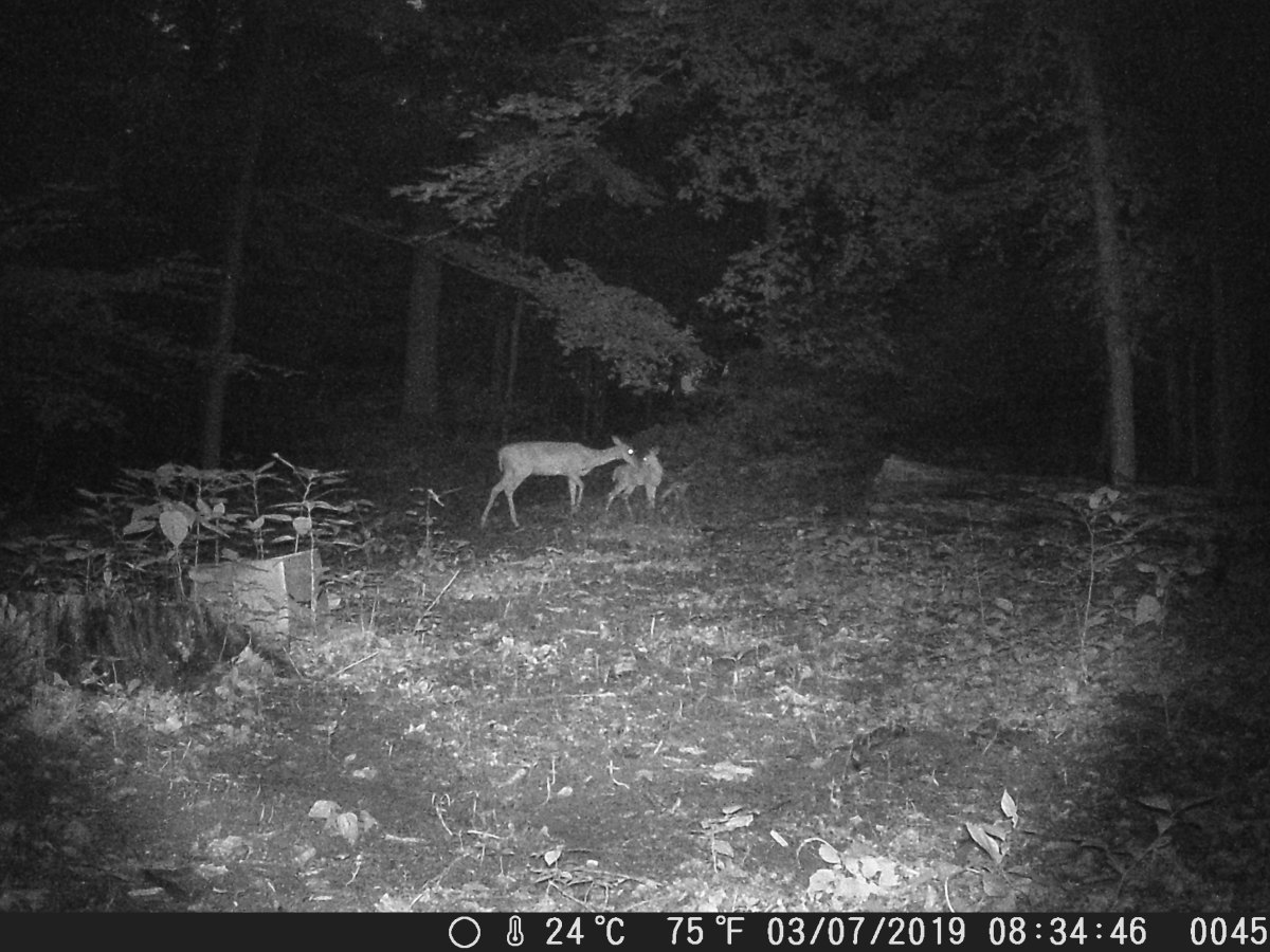 Doe and fawn at night
