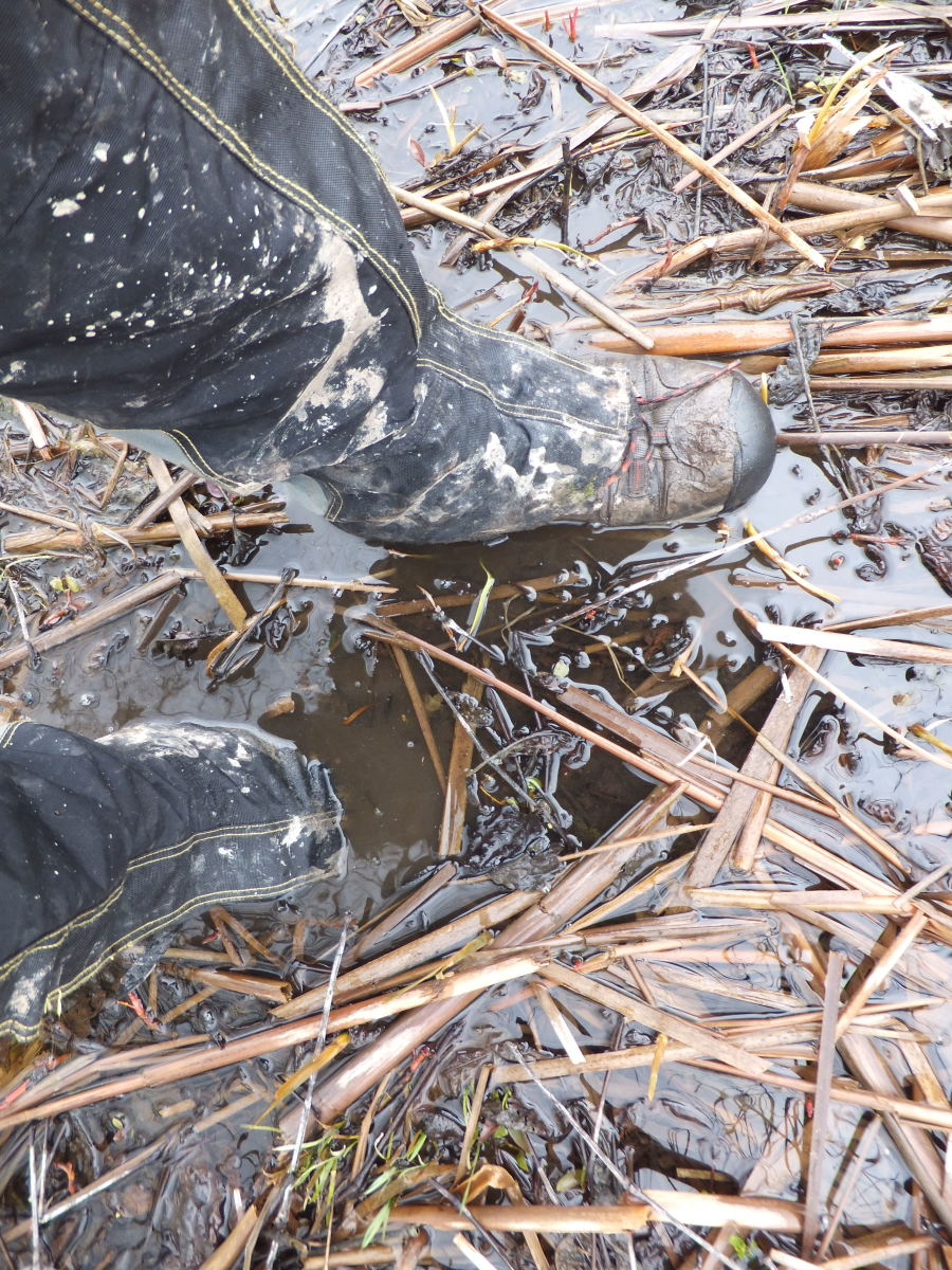 Walking through mud and water in the Iroquois National Wildlife Refuge with the Gypsum.