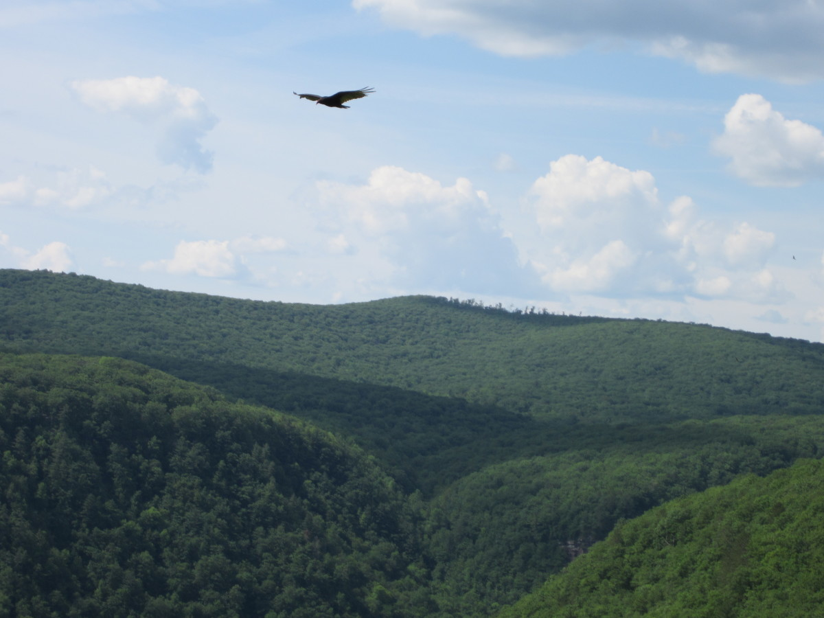 Turkey vulture over the PA Grand Canyon, Leonard Harrison State Park.