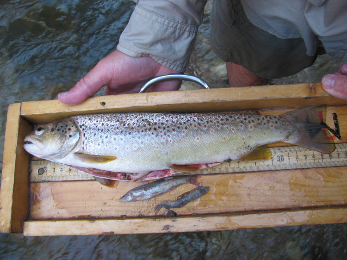 When your target fish are eating bait fish as part of their natural prey, like the brown trout seen here, Rapala lures are an excellent choice.