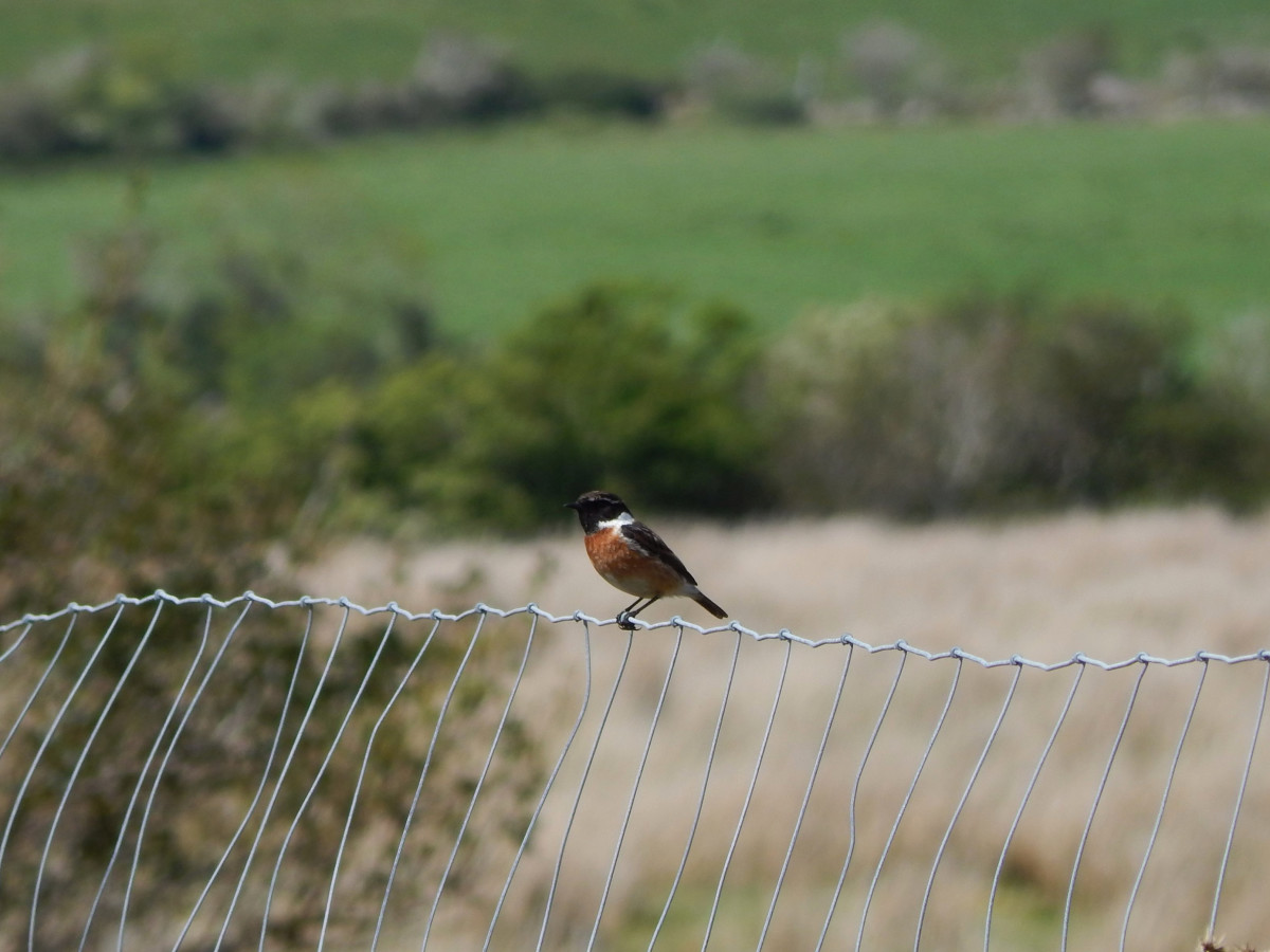 Whilst the mammals are shy, there is plenty of bird life to be seen. This European stonechat (Saxicola rubicola) was spotted during the walk.