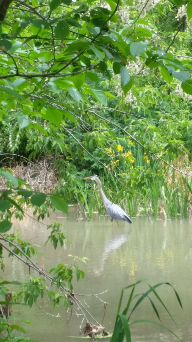 Great Blue Heron trying to catch its dinner in the canal