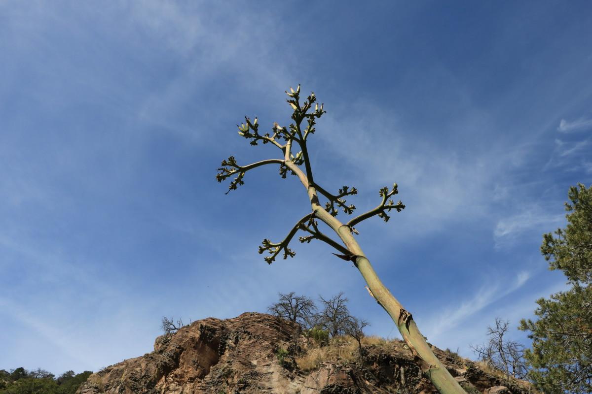 Century Cactus