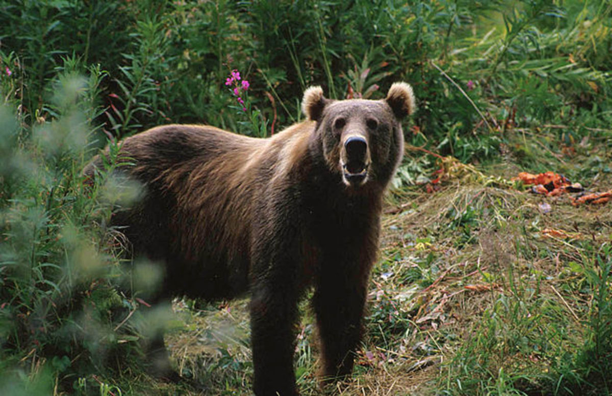 Kodiak bears can weigh over 1000 pounds.  Use enough gun.