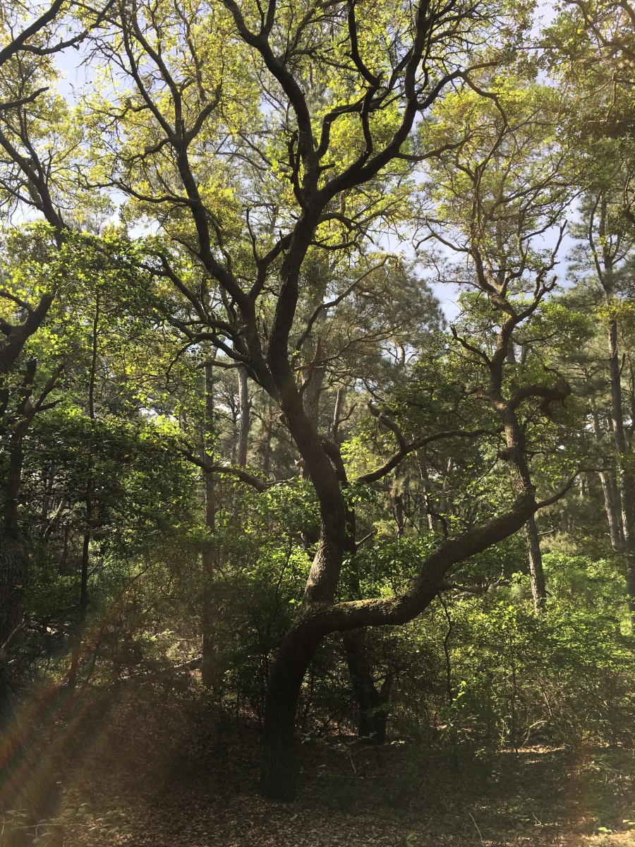 I feel in love with this tree. I felt like it was a fantastic example of a tree in a maritime forest. I could have spent much of the day in awe of this tree and the natural world around it.