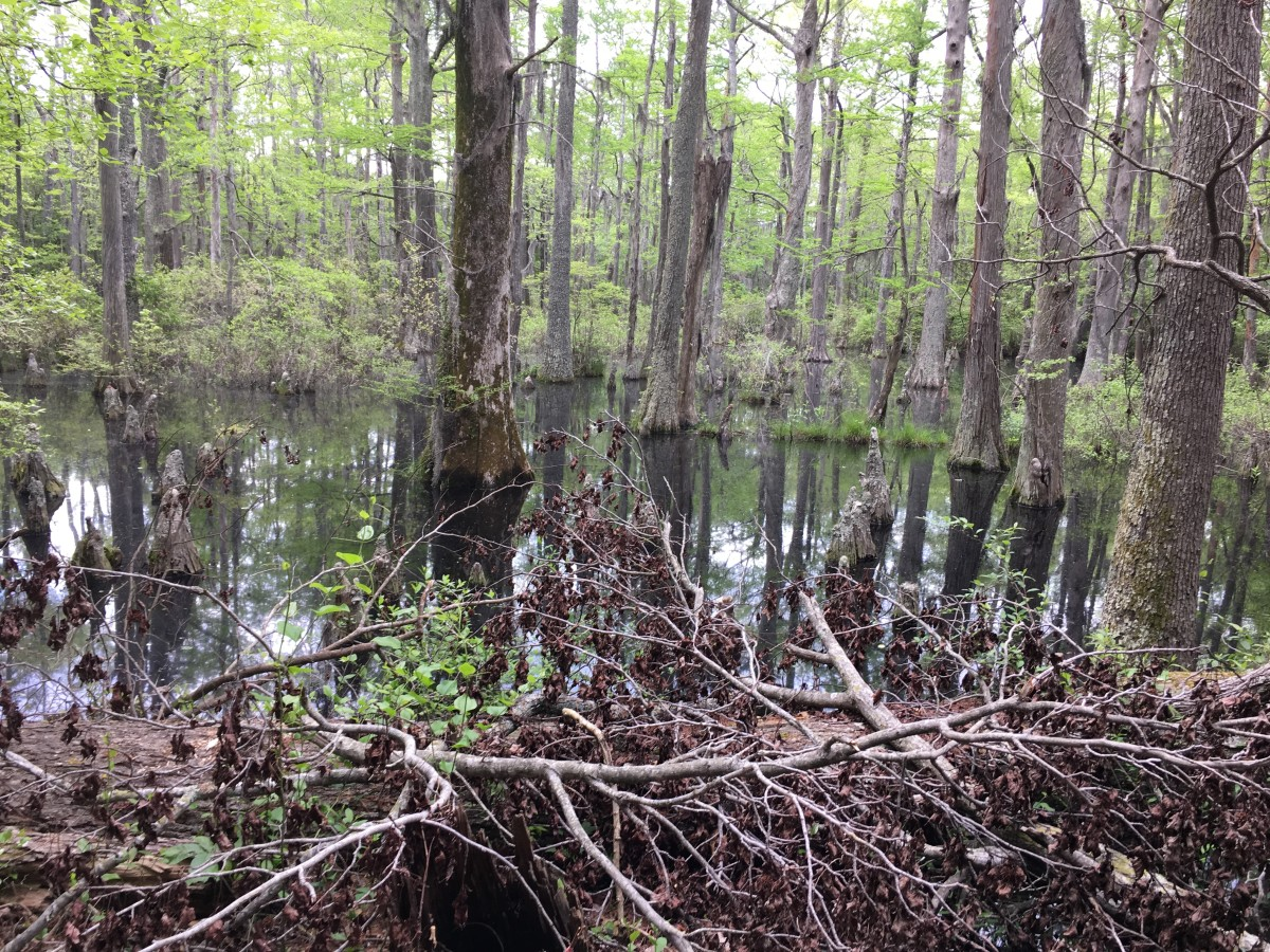 Much of the trail side of First Landing is marshy or swampland. Hiking through the swamps had an ethereal feel to it.
