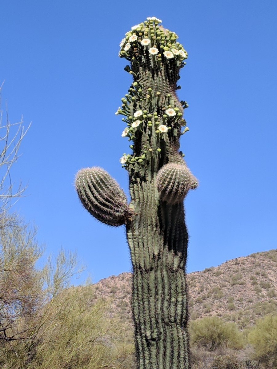 Saguaro Cactus along Salt River in Tonto National Forest - Mesa, AZ