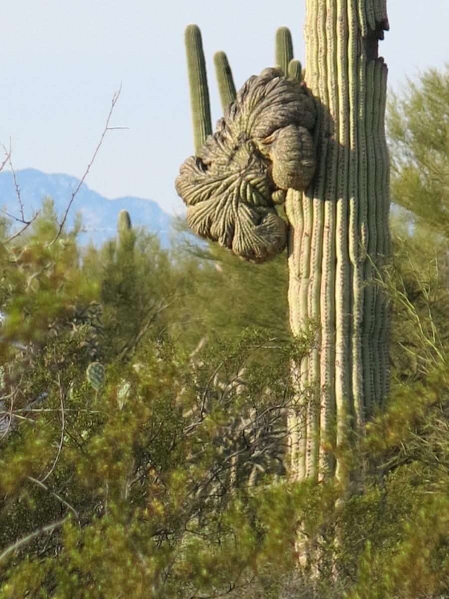 Crested Saguaro Cactus in Saguaro National Park West