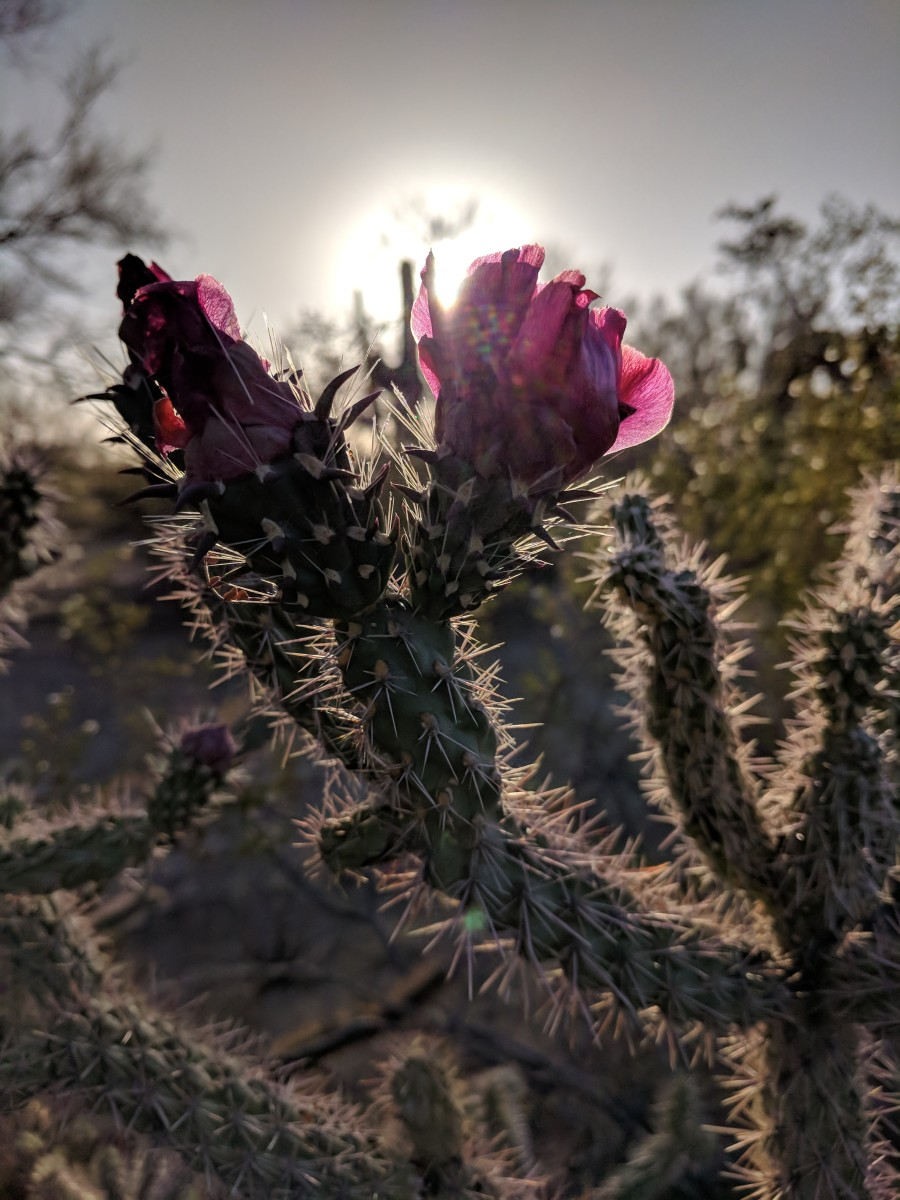 Saguaro National Park is home to many verities of cacti. The cholla cactus is one of the many cacti that bloom in the spring.