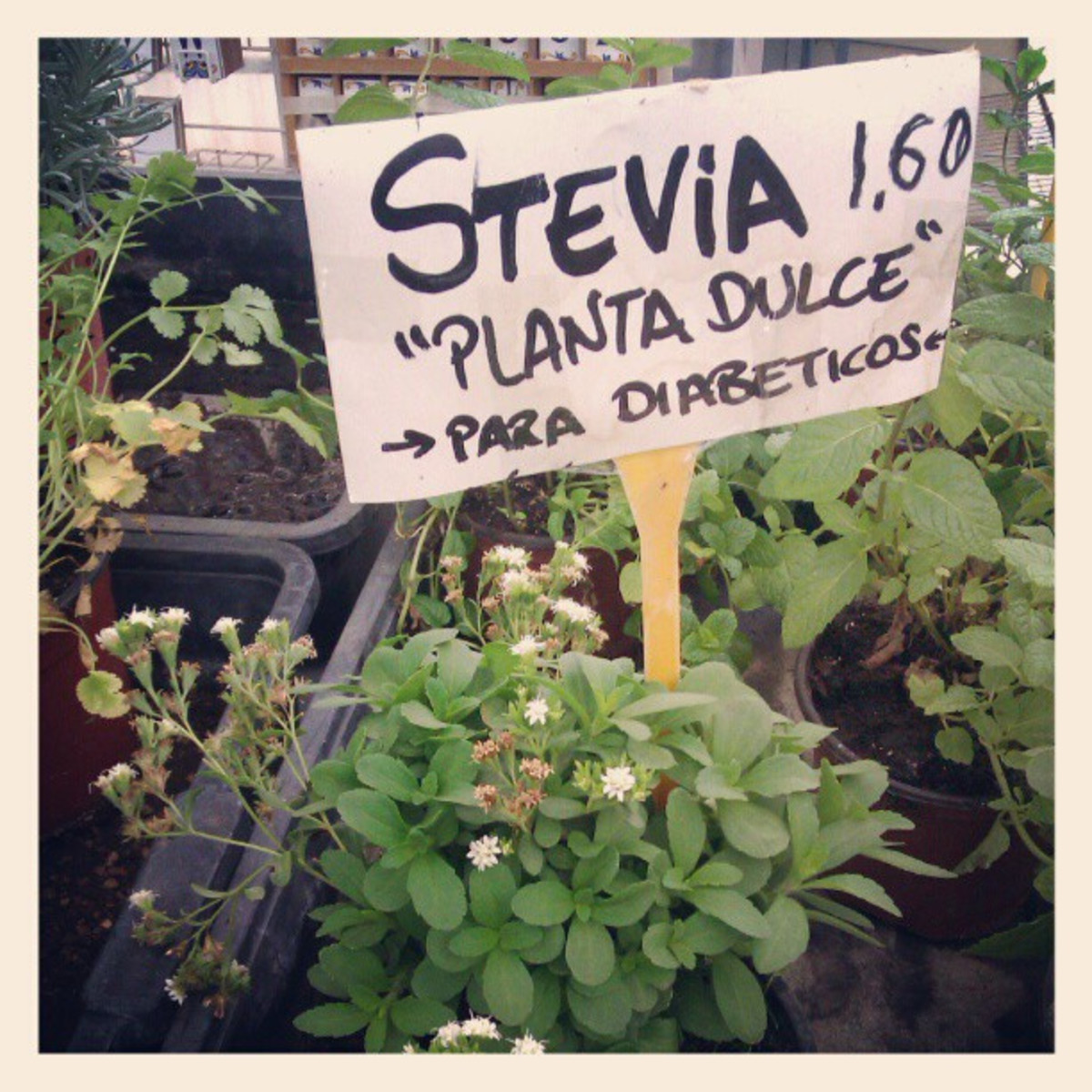 Translation: Stevia. Sweet plant for diabetics.