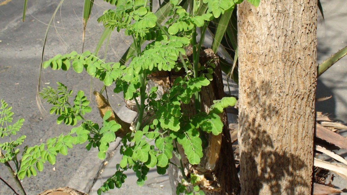 A Moringa tree growing in a pavement beside our beverage plant  in Jeddah, KSA.