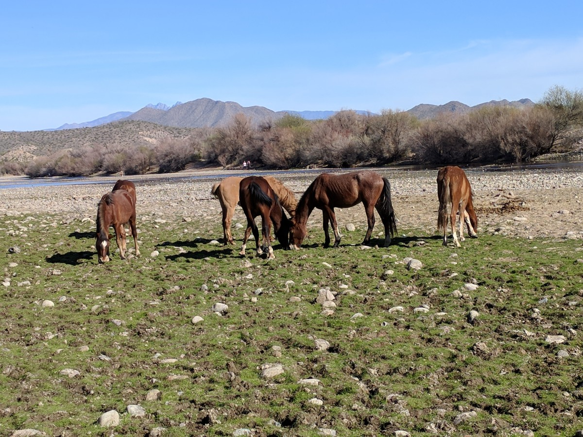 Wild horses grazing on seaweed on bank of Salt River in Tonto National Forest, AZ