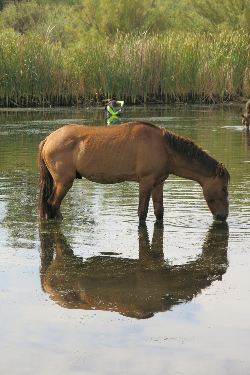 Wild Horse enjoying early evening snack of seaweed in Arizona's Salt River