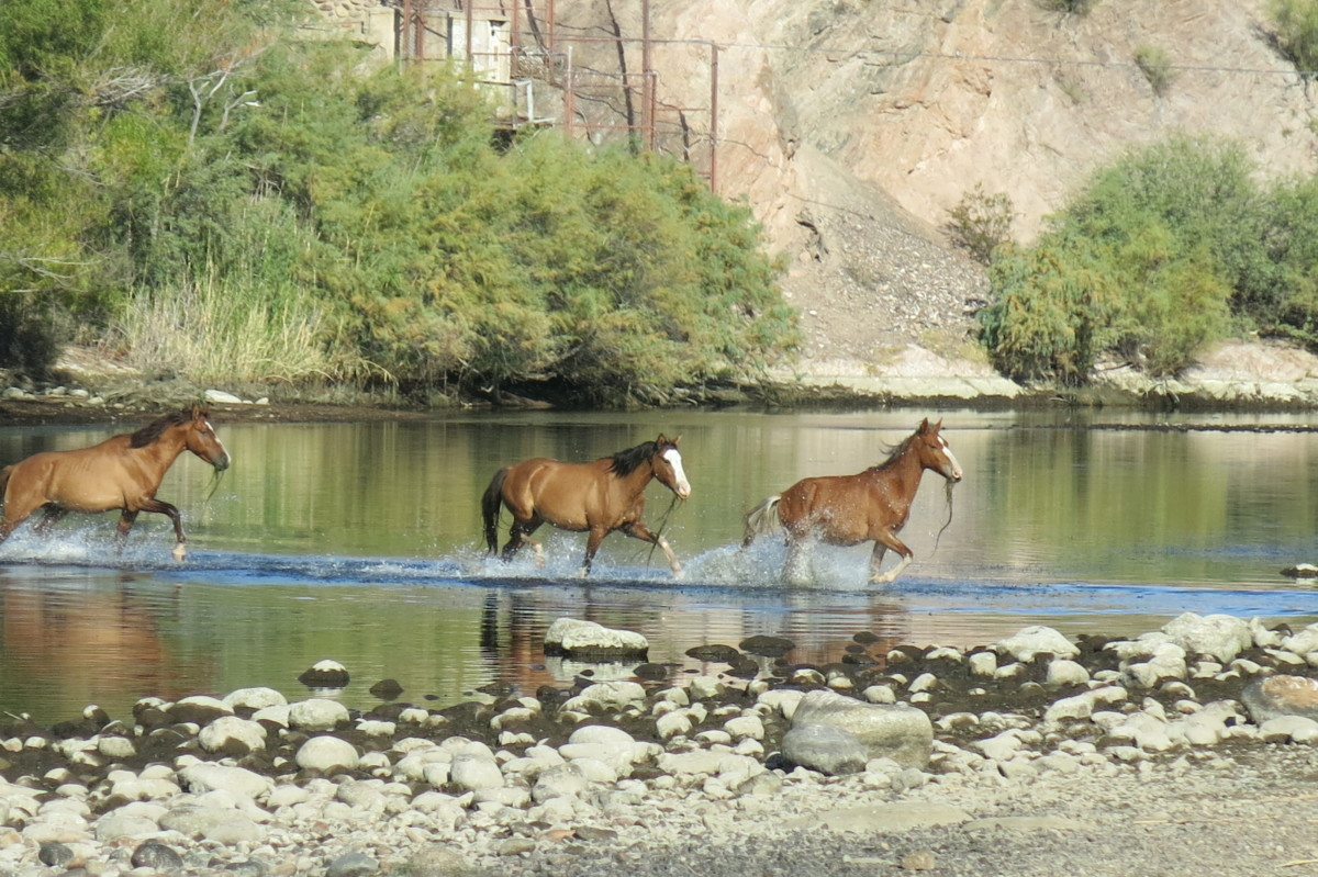Group of mustangs, with seaweed they have been grazing on in the river hanging from their mouths, cross Salt River heading for grasslands on other side.