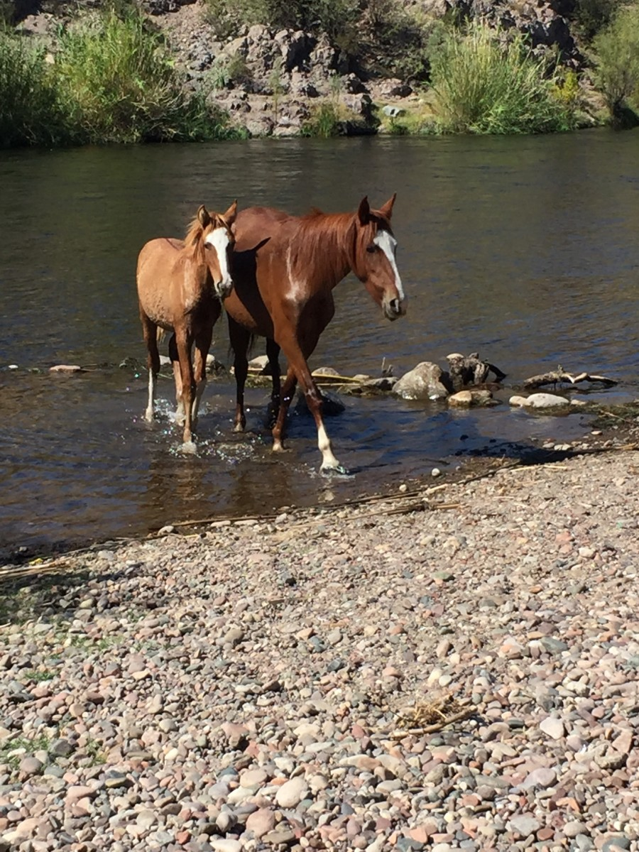 Mare and her foal crossing the Salt River in Tonto National Forest