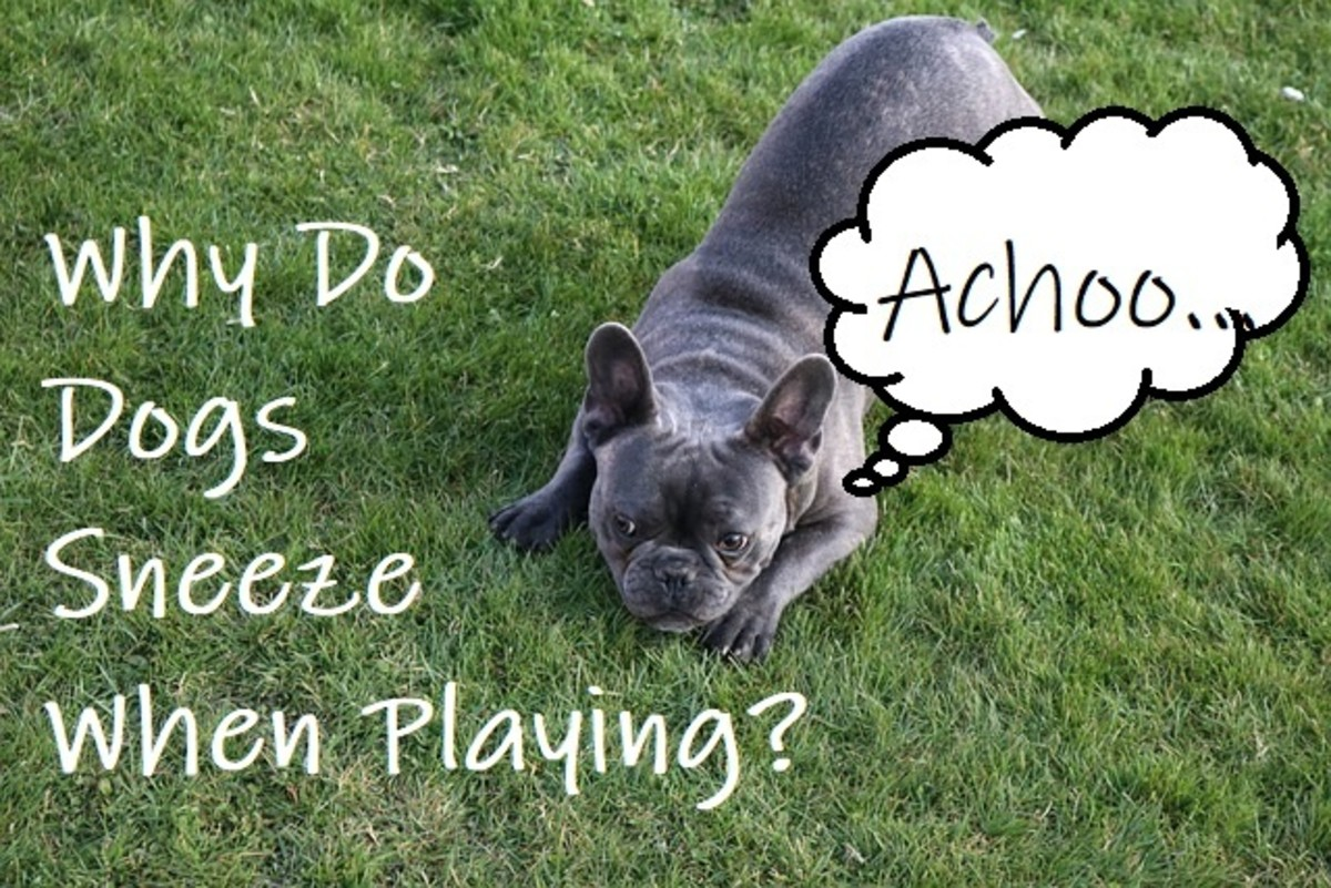 The sneeze play in dogs may happen for various reasons.