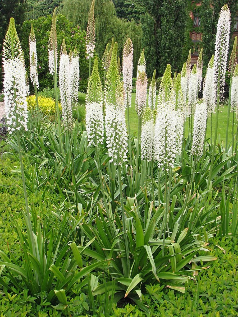 how-to-grow-foxtail-lilies-desert-candles