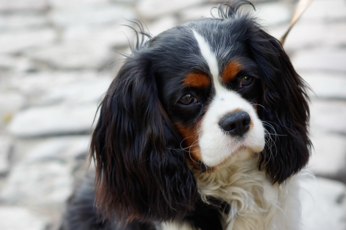 The Cavalier King Charles Spaniel is a great dog around kids.