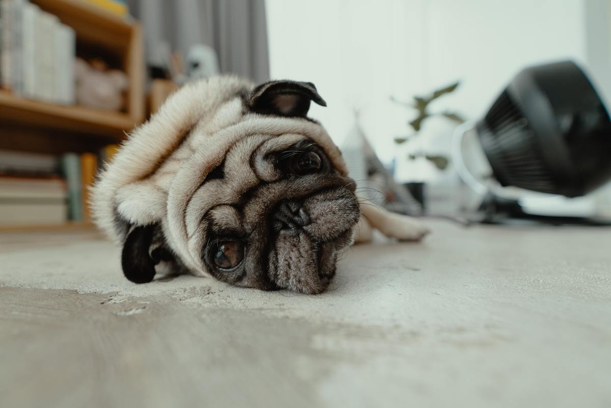 Pugs are sweet dogs but they can also be a little dramatic.