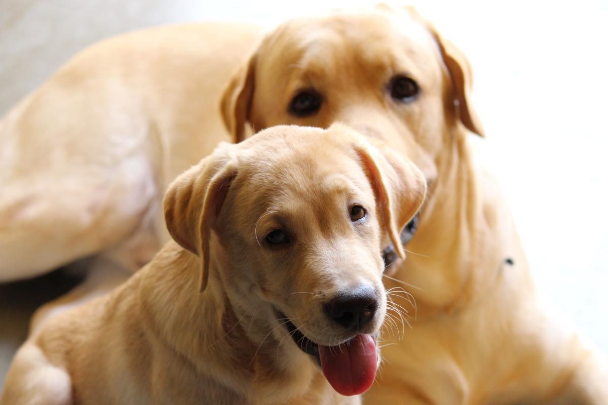 Labrador Retrievers are goofy dogs.