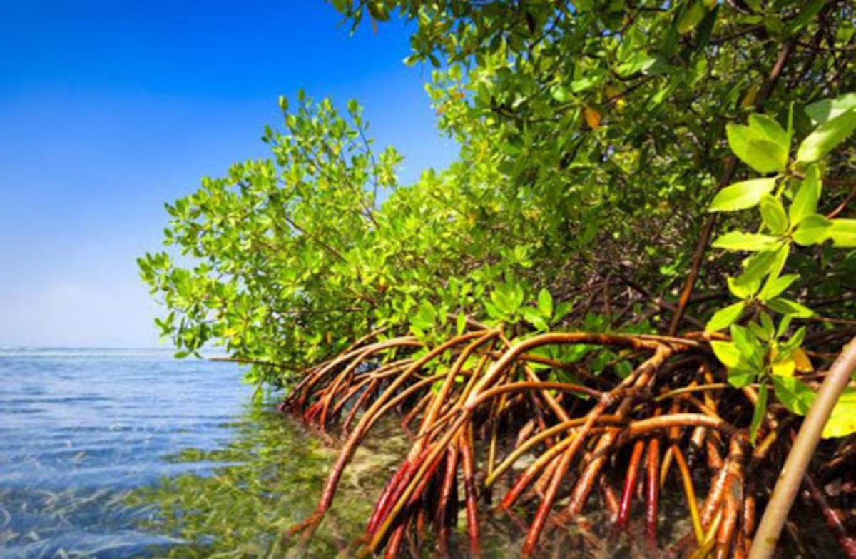 Mangroves have potential phytoremediation properties.