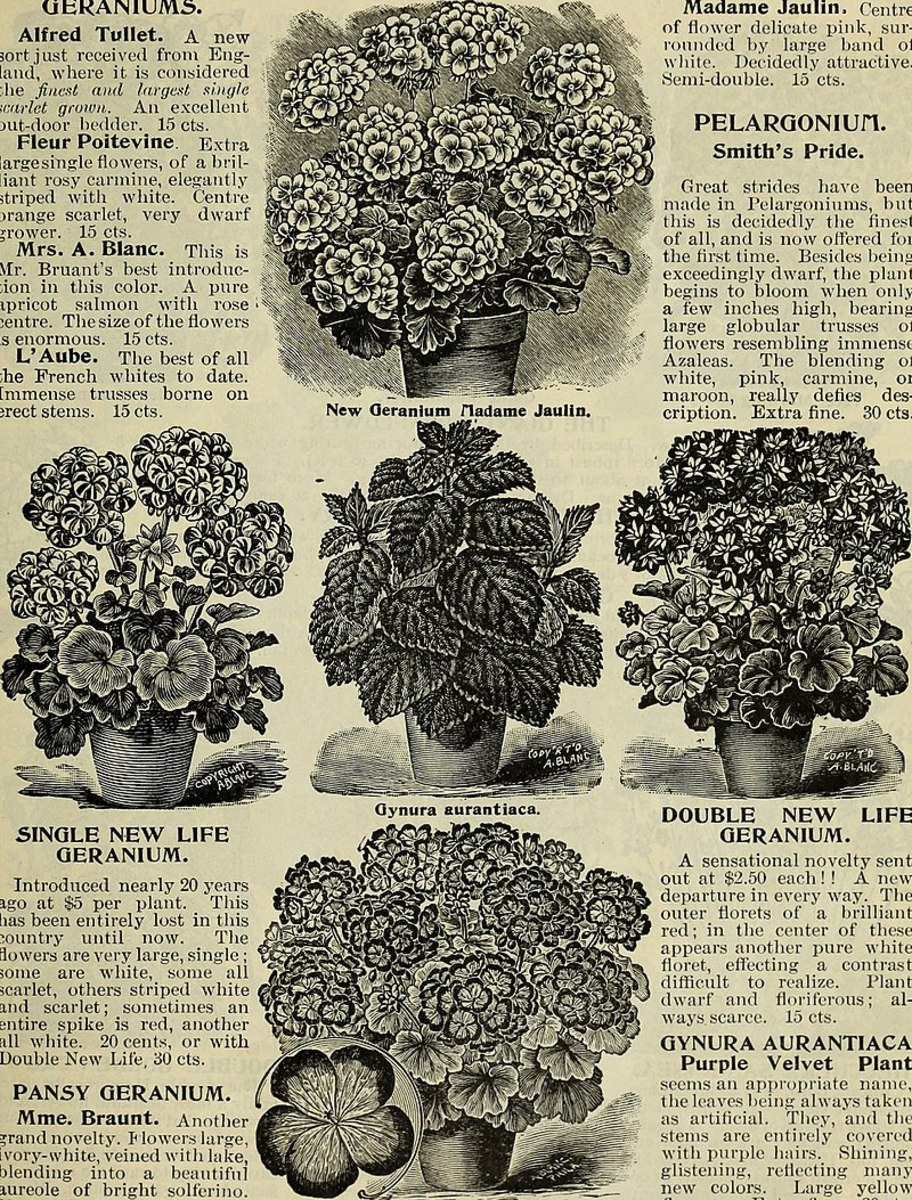 Gardeners have been growing purple passion plants for over a century.  This catalog is from 1900.