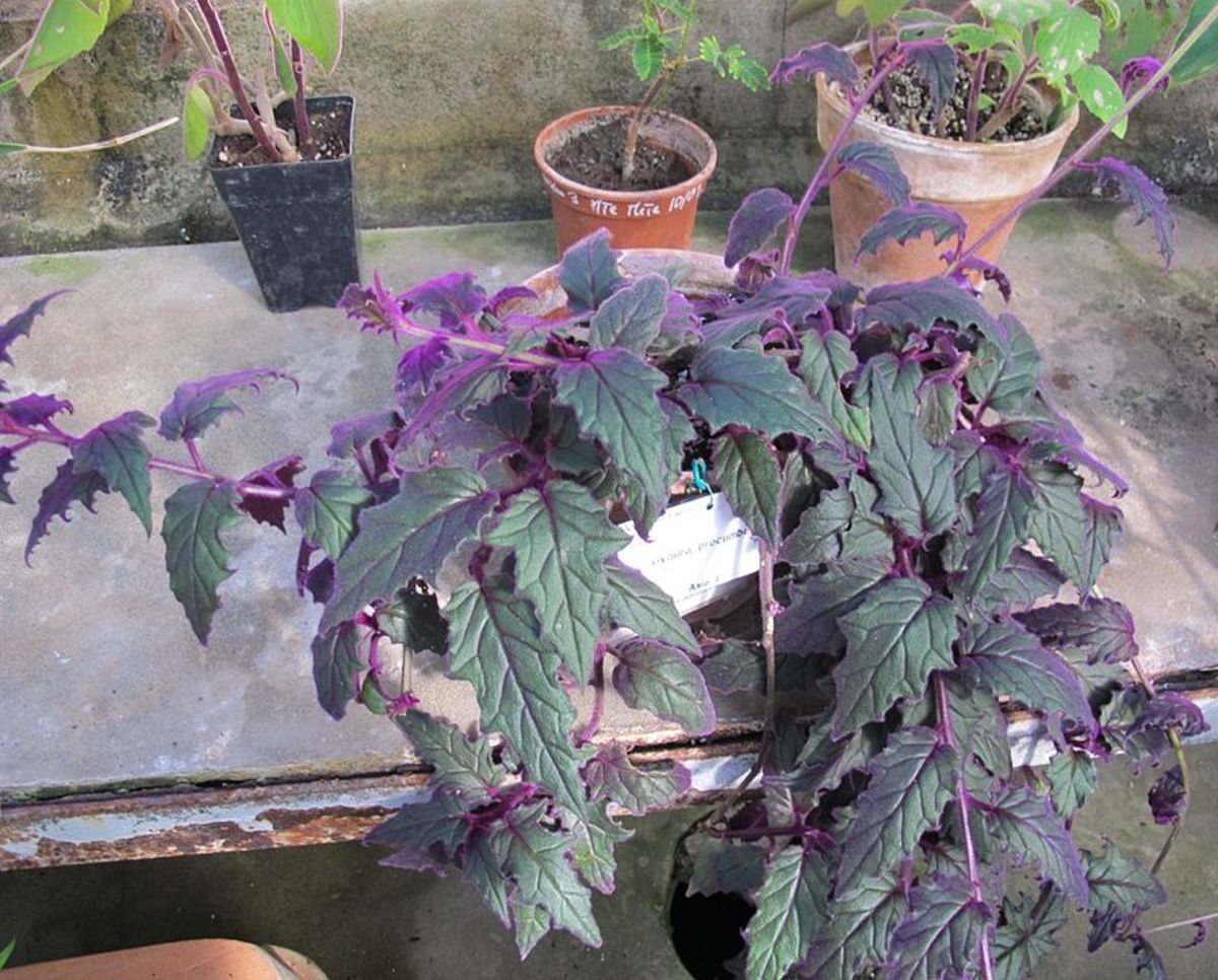 how-to-grow-purple-passion-plant-velvet-plant