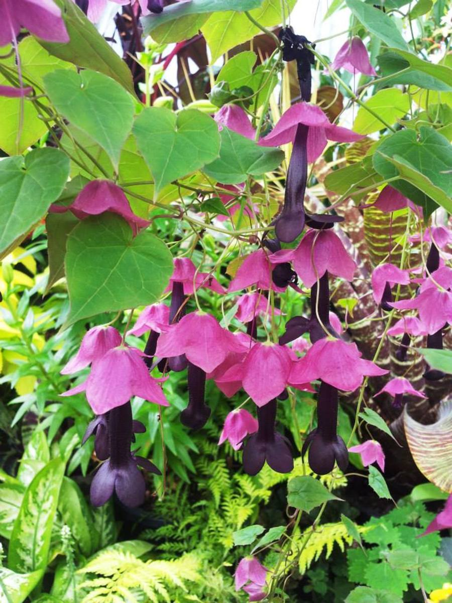 how-to-grow-purple-bell-vines
